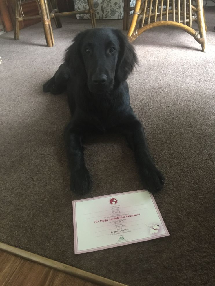 Ruby with her first Kennel Club Certificate